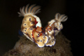   Nudibranches Imperial Shrimps  